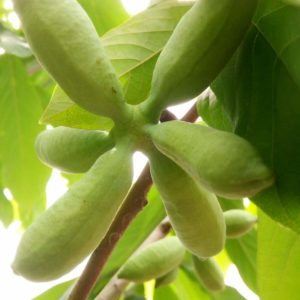 banane di montagna